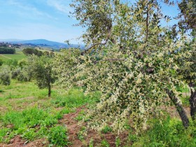 flowering olive trees in castiglioni